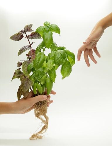 Michelangelo Plant